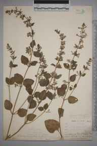 Clinopodium ascendens herbarium specimen from East Looe, VC2 East Cornwall in 1900 by Mr Allan Octavian Hume.