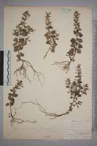 Clinopodium ascendens herbarium specimen from Harlyn Bay, VC1 West Cornwall in 1902 by Mr Allan Octavian Hume.