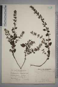 Clinopodium ascendens herbarium specimen from Sutton, VC17 Surrey in 1926 by Mr Edward Charles Wallace.