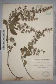 Clinopodium ascendens herbarium specimen from Uphill, VC6 North Somerset in 1922 by Mr Edward Charles Wallace.