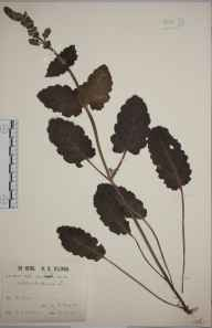 Salvia verbenaca herbarium specimen from Haddiscoe, VC27 East Norfolk in 1912 by Mr William Charles Barton.