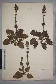 Salvia verbenaca herbarium specimen from Mullion, VC1 West Cornwall in 1899 by Mr Allan Octavian Hume.