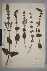 Salvia verbenaca herbarium specimen from Niton, VC10 Isle of Wight in 1898 by Mr Allan Octavian Hume.