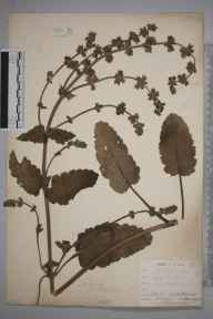 Salvia verbenaca herbarium specimen from Northfleet, VC16 West Kent in 1901 by William Henry Griffin.