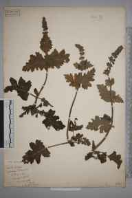 Salvia verbenaca herbarium specimen from Toddington, VC30 Bedfordshire in 1896 by S A Chambers.