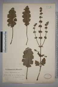 Salvia verbenaca herbarium specimen from Old Shoreham, VC13 West Sussex in 1932 by Mr Edward Charles Wallace.