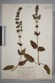 Salvia verbenaca herbarium specimen from Easton, VC9 Dorset in 1928 by Mr Edward Charles Wallace.