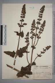 Salvia verbenaca herbarium specimen from Mullion, VC1 West Cornwall in 1929 by Mr Job Edward Lousley.