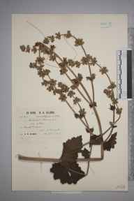 Salvia verbenaca herbarium specimen from Hayle, VC1 West Cornwall in 1930 by Richard Barker Ullman.