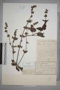 Salvia verbenaca herbarium specimen from Great Orme's Head, VC49 Caernarvonshire in 1892 by J H T.