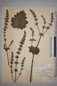 Salvia verbenaca herbarium specimen from Old Hunstanton, VC28 West Norfolk in 1903 by Charles Smith Nicholson.