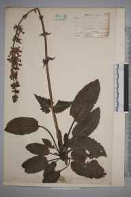 Salvia pratensis herbarium specimen from Cobham, VC16 West Kent by William Henry Griffin.