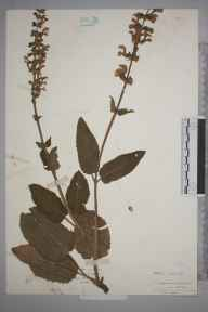 Salvia pratensis herbarium specimen from Headley, VC17 Surrey in 1934 by Mr Isaac A Helsby.