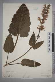 Salvia pratensis herbarium specimen from Middleton Stoney, VC23 Oxfordshire in 1923 by Mr Isaac A Helsby.