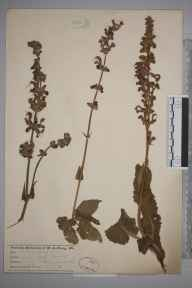 Salvia pratensis herbarium specimen from Cobham, VC16 West Kent in 0 by Joseph Sugar Baly.