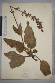 Salvia pratensis herbarium specimen from Cobham, VC16 West Kent in 1852 by Joseph Woods.