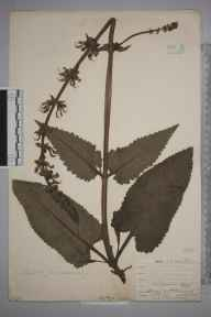 Salvia pratensis herbarium specimen from Cobham, VC16 West Kent in 1905 by William Henry Griffin.