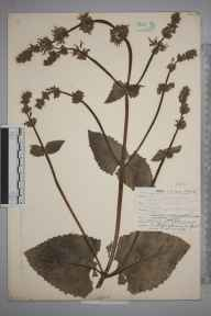 Salvia verticillata herbarium specimen from Norwood, VC17 Surrey in 1908 by William Henry Griffin.