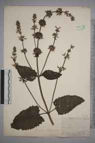 Salvia verticillata herbarium specimen from Rotherhithe, VC16 West Kent in 1912 by William Henry Griffin.