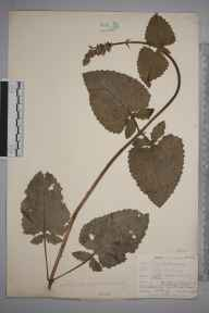 Salvia verticillata herbarium specimen from Stoat's Nest, VC17 Surrey in 1903 by William Henry Griffin.
