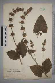 Salvia verticillata herbarium specimen from South Kensington, VC17,VC21 in 1905 by William Robert Sherrin.