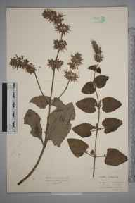 Salvia verticillata herbarium specimen from Barry Docks, VC41 Glamorganshire in 1934 by Mr Isaac A Helsby.