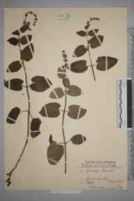Salvia verticillata herbarium specimen from Greenhithe, VC16 West Kent in 1939 by Rev. Philip Henry Cooke.