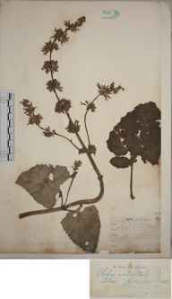 Salvia verticillata herbarium specimen from Birkenhead, VC58 Cheshire in 1902 by Mr James Alfred Wheldon.