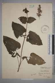 Salvia verticillata herbarium specimen from Richmond, VC17 Surrey in 1910 by Stafford Edwin Chandler.