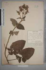 Salvia  herbarium specimen from Kingswood, VC34 West Gloucestershire in 1885 by Mr James Walter White.