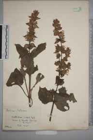 Salvia  herbarium specimen from Hamble, VC11 South Hampshire in 1925 by Mr John Frederick Rayner.
