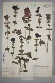Salvia  herbarium specimen from Wimbledon, VC17 Surrey in 1957 by Charles Avery.