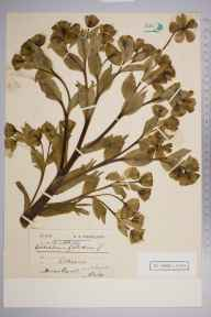 Helleborus foetidus herbarium specimen from Selborne, VC12 North Hampshire in 1900 by Miss Bocot (?).