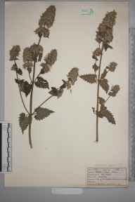 Nepeta cataria herbarium specimen from Keston, VC16 West Kent in 1922 by Mr Job Edward Lousley.