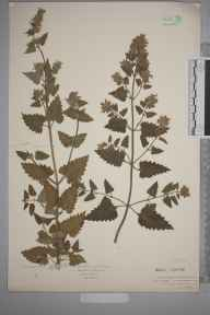 Nepeta cataria herbarium specimen from Watford, VC20 Hertfordshire in 1922 by Mr Isaac A Helsby.