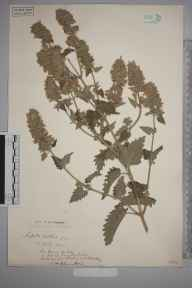 Nepeta cataria herbarium specimen from Leatherhead, VC17 Surrey in 1904 by S A Chambers.