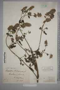 Nepeta cataria herbarium specimen from Croydon, VC17 Surrey in 1889 by Mr Henry Tuke Mennell.