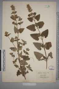 Nepeta cataria herbarium specimen from Lewes, VC14 East Sussex in 1853 by Joseph Woods.