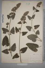 Nepeta cataria herbarium specimen from Selsdon, VC17 Surrey in 1900 by William Henry Griffin.