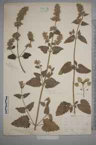 Nepeta cataria herbarium specimen from Green Street Green, VC16 West Kent in 1902 by William Henry Griffin.