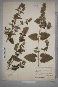 Nepeta cataria herbarium specimen from Newlands Corner, VC17 Surrey in 1924 by Arthur H Carter.