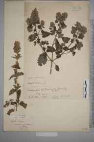 Nepeta cataria herbarium specimen from Teddington Lock, VC17 Surrey in 1902 by Charles Baylis Green.