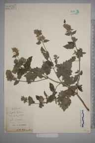 Nepeta cataria herbarium specimen from Dunstable, VC20,VC30 in 1896 by S A Chambers.