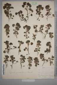 Glechoma hederacea herbarium specimen from Penzance, VC1 West Cornwall in 1899 by Mr Allan Octavian Hume.