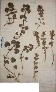 Glechoma hederacea herbarium specimen from Steephill, VC10 Isle of Wight in 1838 by A Hamburgh.
