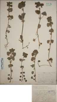 Glechoma hederacea herbarium specimen from Lowesby, VC55 Leicestershire in 1905 by Mr Arthur Reginald Horwood.