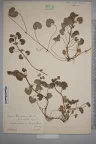 Glechoma hederacea herbarium specimen from Reigate, VC17 Surrey in 1882 by Mr William Hadden Beeby.