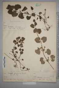 Glechoma hederacea herbarium specimen from Perivale, VC21 Middlesex in 1897 by William Robert Sherrin.