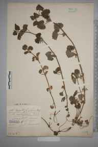 Glechoma hederacea herbarium specimen from Scraptoft, VC55 Leicestershire in 1905 by Mr Arthur Reginald Horwood.