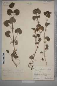 Glechoma hederacea herbarium specimen from Grimston, Holderness, VC61 South-east Yorkshire in 1883 by Mr George Webster.